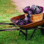 red cabbage by bushel basket