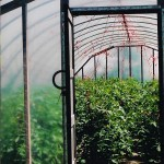 tomatoes growing in high tunnel